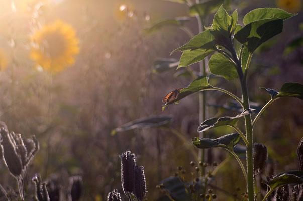 Sonnenblumenfeld bei Waldbrunn [UKR20100730_0139]