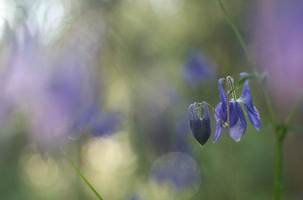 Wald-Akelei (Aquilegia vulgaris) [UKR20110515_0609]