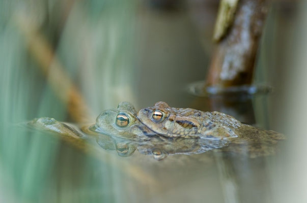 Erdkrötenpaar (Bufo bufo) [UKR20110325_0003]