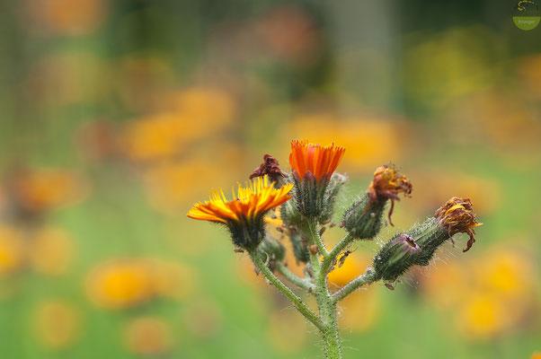 Für die einen ein lästiges Unkraut, für die anderen eine bildhübsche Wildstaude: das orangerot blühende Habichtskraut. Machen Sie sich selbst ein Bild. [UKR20200608_0150]