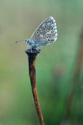 Himmelblauer Bläuling (Polyommatus bellargus) [UKR20110427_0162]