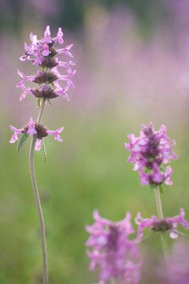 Im Sommer blüht der Heil-Ziest (Stachys officinalis) auf den Wiesen im nördlichen Odenwald [UKR20120719_0153]