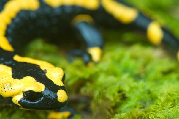 Feuersalamander (Salamandra salamandra ssp. terrestris)  [UKR20090429_0348]