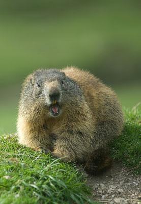 Selbstbewusstes Murmeltier (Marmota marmota) [UKR20170523_0742]