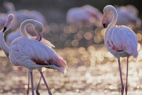 Rosa Flamingos (Phoenicopterus roseus) in der Camargue