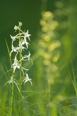 Waldhyazinthe (Platanthera bifolia) [UKR20100605_0136]