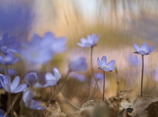 Das Leberblümchen (Hepatica nobilis) hat Frostschutzmittel im Gewebe und ist deshalb eine der ersten Frühlingspflanzen [UKR20110323_0071]