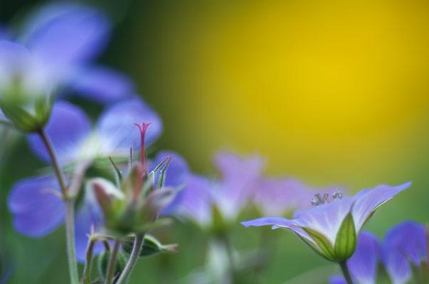 Wiesen-Storchschnabel (Geranium pratense) [UKR20180615_0439]