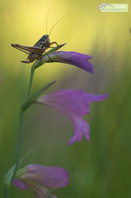 Diese hübsche Laubheuschrecke mag dichte, feuchte Vegetation. Das Bild zeigt ein Weibchen mit dem typischen Legestachel auf einer Illyrischen Gladiole. Die Aufnahme entstand im Naturpark Dobratsch (Österreich) [UKR20180620_0396]