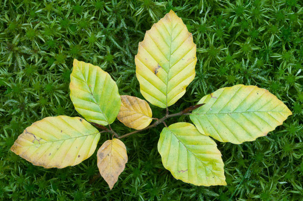 Kleiner Buchenbaum (Fagus sylvatica) [UKR20081009_0312]