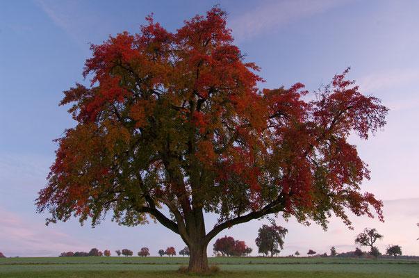 Mostbirne im Herbstgewand bei Waldbrunn im Odenald [UKR20081005_0085]