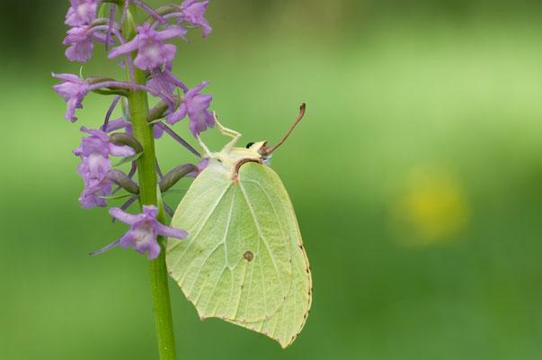 Zitronenfalter (Gonepteryx rhamni) auf Mücken-Händelwurz [UKR20110623_0384]
