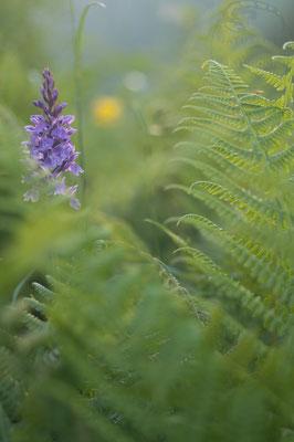 Knabenkraut im Farn (Dactylorhiza spec.) [UKR20180704_0597]