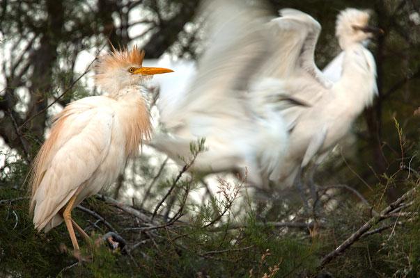 Kuhreiher am Nest (Bubulcus ibis) [UKR20190708_0246]