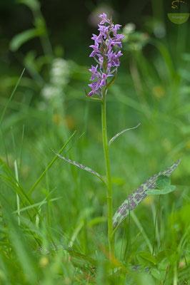 Das Breitblättrige Knabenkraut (Dactylorhiza majalis) mag es gerne feucht [UKR20180614_290]
