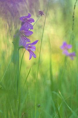 Illyrische Gladiole (Gladiolus illyricus) [UKR20180620_0317]