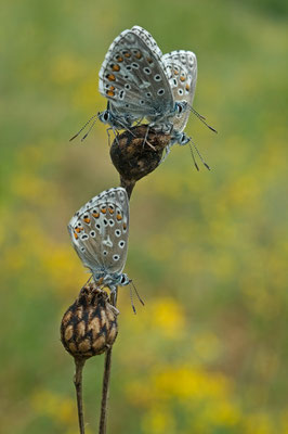 Himmelblaue Bläulinge (Polyommatus bellargus) am Schlafplatz [UKR20110427_0129]
