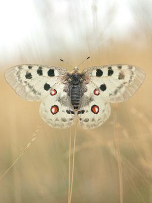 Apollofalter (Parnassius apollo) [UKR20180714_0147]
