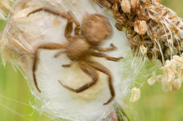 Krabbenspinne am Nest (Xysticus cristatus) [UKR20100702_0091]