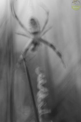 Zebraspinne (Argiope bruennichi) in Schwarz-weiss [UKR20180626_0553]