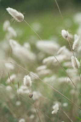 Hasenschwanzgras (Lagurus ovatus) [UKR20180628_0257]