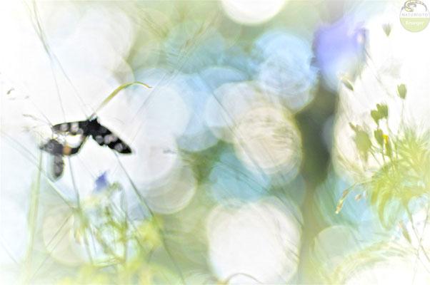 Weißfleck-Widderchen (Amata phegea) bei der Paarung