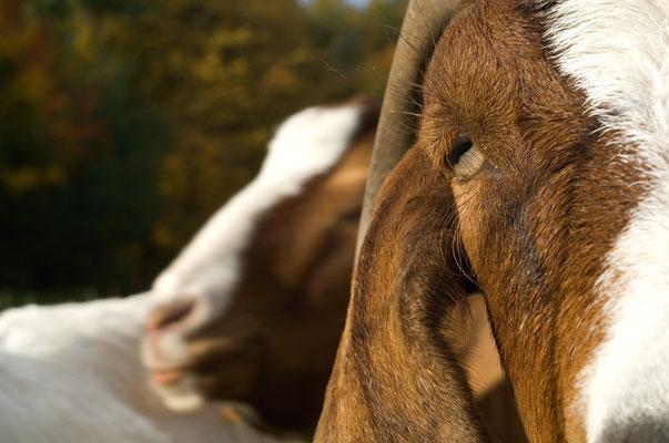 Auge in Auge mit einer alten Hausziegenrasse (Capra aegagrus hircus) [UKR20081010_0125]