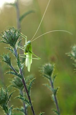 Weibchen einer Sichelschrecke (Phaneroptera falcata) [UKR20100716_0080]