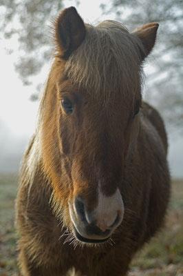 Neugieriges Pony auf der Winterweide [UKR20111124_0302]