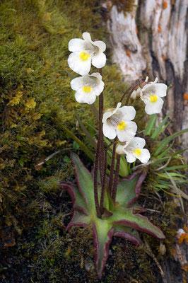 Das Alpen-Fettkraut (Pinguicula alpina) fängt mit seinen klebrigen Blättern kleine Insekten [UKR20170526_0141]