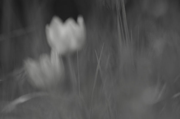 Wilde Tulpe [UKR20110428_0166]