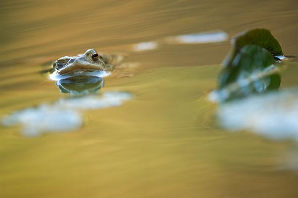 Erdkrötenprinz (Bufo bufo) [UKR20120325_0098-1]