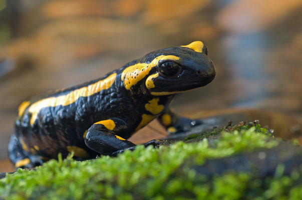 Feuersalamander (Salamandra terrestris): Die aparte schwarzgelbe Musterung ist bei jedem Tier anders [UKR20120410_0173-1]