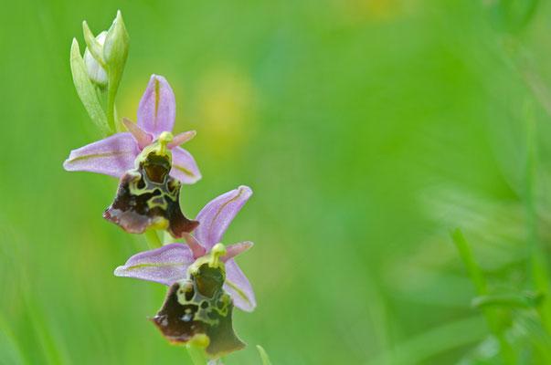 Hummel-Ragwurz (Orchis holoserica) [UKR20100601_0367]