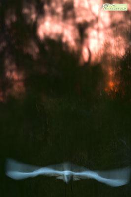 Seidenreiher im letzten warmen Licht der untergehenden Sonne (Camargue) [UKR20180708_0376]