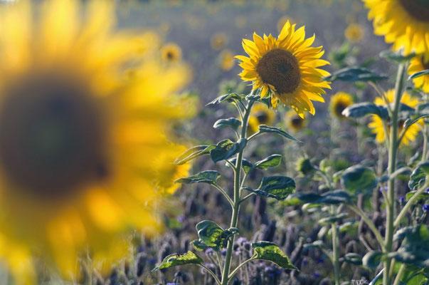 Sonnenblumenfeld [UKR20100730_0167]