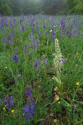 Herrliche Blumenwiese mit Salbei und Bocks-Riemenzunge [UKR20110428_0246]
