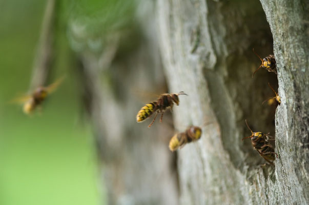 Hornissen (Vespa crapo) bauen ihr Nest gerne in alten hohlen Obstbäumen [UKR20110828_0041]
