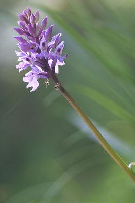 Knabenkraut (Dactylorhiza spec.) [UKR20180615_0365]