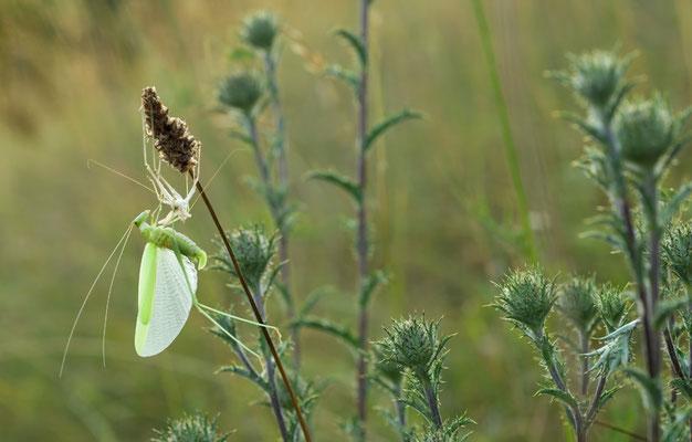 Weibliche Sichelschrecke (Phaneroptera falcata) mit Exuvie [UKR20100716_0018]