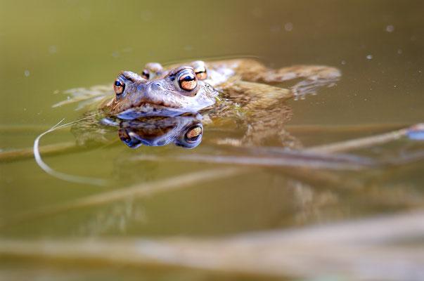 Erdkrötenpaar (Bufo buo) [UKR20120327_0243]