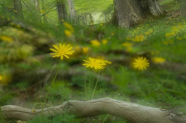 Was bei uns der Löwenzahn, das ist im Hochgebirge der Hainlattich (Aposeris foetida) [UKR20170523_0146]