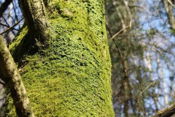 Interessant waren hier auch die epiphytischen Moose, die auf einigen Fichten wuchsen. Epiphyten sind Pflanzen, die auf anderen Pflanzen wachsen und daher keine Nährstoffe aus dem Boden aufnehmen. Sie haben oft spezielle Anpassungen wie z.B. Luftwurzeln.