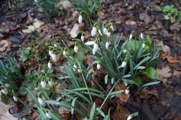 Das Kleine Schneeglöckchen (Galanthus nivalis) ist ein erstes Anzeichen des kommenden Frühlings am Heiligen Meer. Da selbst die Blüten dieser Pflanze frosthart sind, ist sie eine der ersten Arten, die man in blühender Form zu Beginn des Jahres sehen kann.