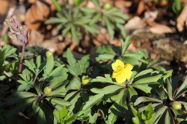 Anemone ranuncoloides, das Gelbe Windröschen