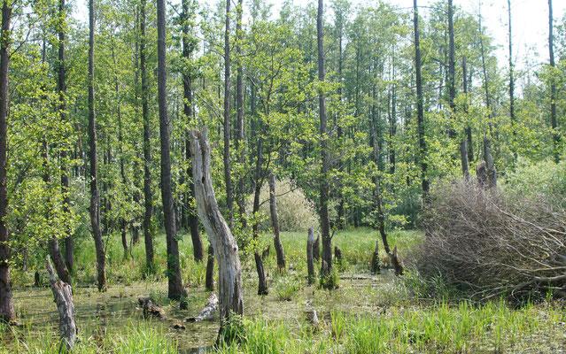 Ein Bruchwald südlich des Dümmers. Solch überflutete Flächen sind für Bäume Extremlebensräume. Vor allem die Schwaz-Erle (Alnus glutinosa) ist an regelmäßige Überflutungen angepasst und bildet unter diesen Bedingungen oft Reinbestände.