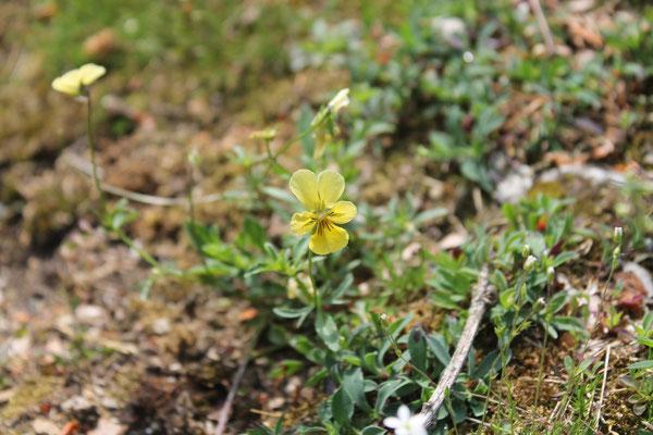 Viola calaminaria, das gelbe Galmei-Veilchen. Die Art kommt eigentlich nur in der Region um Aachen vor, ist dort also endemisch. Zum Silberberg wurde sie vermutlich in jüngerer Zeit künstlich verbracht.