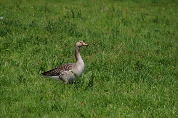 Die Graugans (Anser anser) ist der einzige Gänsevogel, der das ganze Jahr über in großer Zahl am Dümmer zu beobachten ist. Weitere Arten wie Bläss- und Saatgänse rasten in Frühling und Herbst als Durchzügler am großen See.