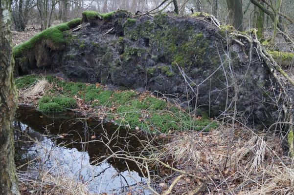 Ein umgestürzter Baum im Bruchwald, der an den Erdfallsee im NSG angrenzt. Als Flachwurzler hat dieser Baum im feuchten Boden vermutlich bei einem Unwetter nicht genug Halt gehabt und ist daher umgefallen.