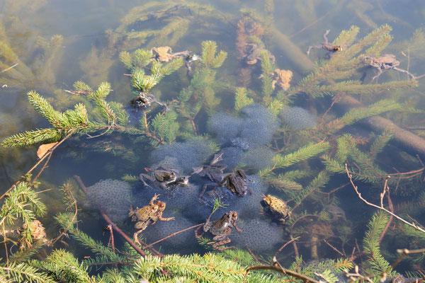 Am Haase-See war die Laichzeit der Kröten angebrochen. Massen an Laich schwammen bereits im Wasser und viele weitere Kröten, sowie einige Frösche, waren noch beim Laichgeschäft.
